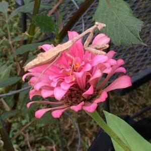 Praying Mantis Visits My Garden